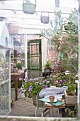 Plants overwintering in small conservatory with potting table and zinc tub f petunias