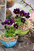 Viola 'Orchi Red' planted in cereal bowls