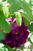 Blüte von Gallica-Rose 'Tuscany Superb'