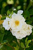 Weiße Blüten von Strauchrose 'Schneewittchen'
