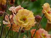 Carnation 'Mai Tai'