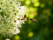 Wild bee on an ALlium blossom, honey bee approaching