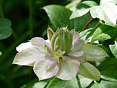 Blüte von Clematis 'Innocent Blush'
