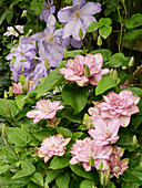 Double flowering Clematis 'Innocent Glance' and Clematis 'Mrs Cholmondeley'