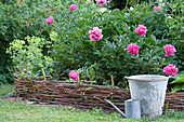 Peonies in flowerbed with woven wicker edging