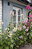 Flowering hollyhocks against house wall
