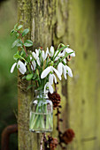 A small bouquet of snowdrops in a glass bottle hung on a tree trunk