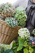 Grüne Hortensien werden geschnitten und im Korb gesammelt