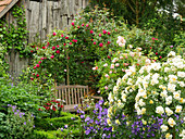 Wooden bench beneath Rambling rose 'Lykkefund' with standard rose 'Christine Helene' and campanula in foreground