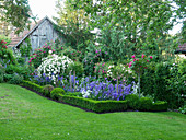 Campanulas and box hedge edging in rose garden