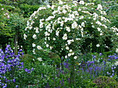 Rambler rose 'Christine Helene' as a stem rose in the perennial bed with bluebells and steppe sage