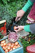 Frau pflanzt Tulpenzwiebeln ins Staudenbeet