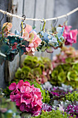Hydrangea flowers in different colours hung on a string