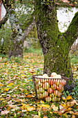 A basket with freshly picked apples in an autumn garden