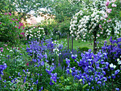 Rose garden with tree roses 'Ghislaine de Féligonde' 'Christine Helene' and bluebells 'Blue Bloomers'