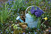 primrose Belarina 'Baltic Blue' in a watering can between overgrown blue stars in the garden