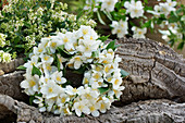 Fragrant wreath of English Dogwood blossoms