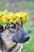German shepherd wearing wreath of double Japanese marigold bush flowers on head