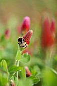 Bumblebee on Crimson Clover