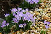 Blooming elven crocuses