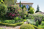 Mediterranean garden with blooming roses and box hedges, path mulched with wood chips