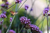 hummingbird hawk-moth sucking nectar from flowers of Patagonian verbena