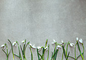 Snowdrop flowers on grey background