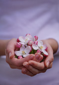 Hands with apple blossoms