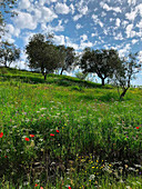 Olive groves and wild flowers