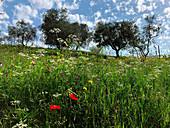 Bio-Olivenbäume und Wildblumen