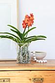 Orange Vanda orchid on glass vase without soil