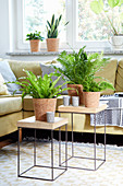 Foliage plants for improving air quality: sword fern, bird's-nest fern, mother-in-law's tongue and pilea in living room