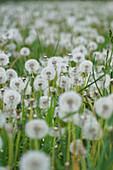 Faded dandelion meadow full of seed pods