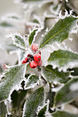 Holly with red berries in the frost