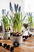 Grape hyacinths in blue-and-white pot of wooden table