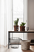 Töpfe mit Zwiebelblumen auf Tisch vor Fenster