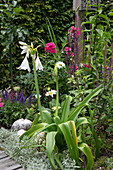 Flowering hook lily in a perennial bed with daisies, steppe sage and flame flower