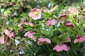 Pink hellebores in spring garden
