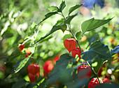 Physalis plant with orange lanterns