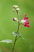 Red-flowering hollyhock