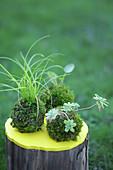 Kokedama: Pflanzen in Mooskugeln auf Baumstumpf mit gelber Abdeckplatte