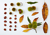 Fruits and leaves of sweet chestnut on white surface