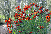 Red Gyroflee flowers in natural garden