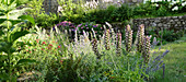 Herbaceous border with hogweed, catmint and valerian