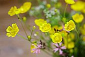 Buttercups and ragged robin