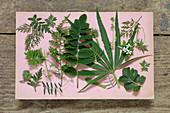 Verschiedene grüne Blätter (Geranie, Farn, Helebora, Salvia) auf rosa Papier