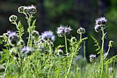 Fiddleneck (Phacelia tanacolia) flowers in garden