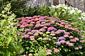 Bed of hydrangeas and ferns