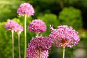 Flowering allium 'Gladiator' in garden