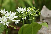 Blüten und Samenstand von Bärlauch